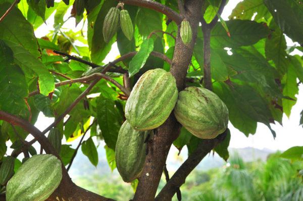 cacao-600x398